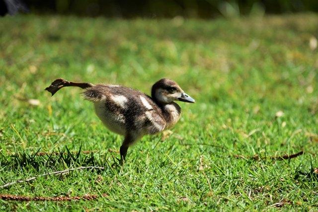 duckhips